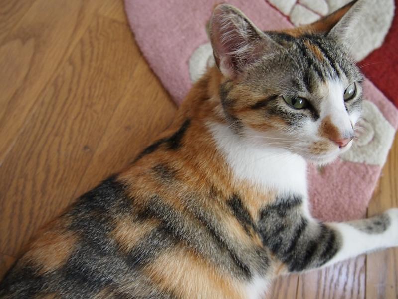 三毛猫の画像 p1_35